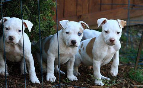white pitbull puppies white pit bull puppies pictures of white pit bull puppies