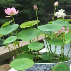 Buy Lotus Plant Aliexpress Buy Lotus Flower Seeds Water Plant Seeds