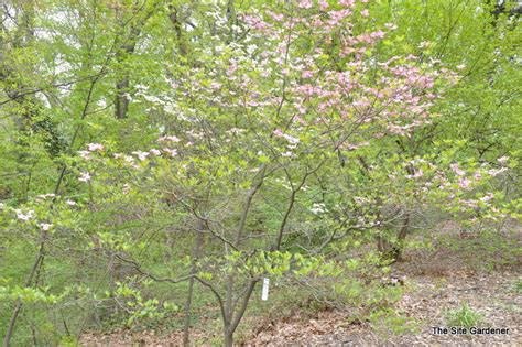 pink dogwood tree growth rate