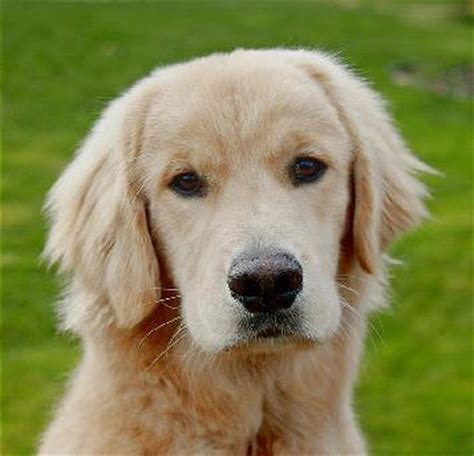 fekete golden retriever golden retriever kutya animals