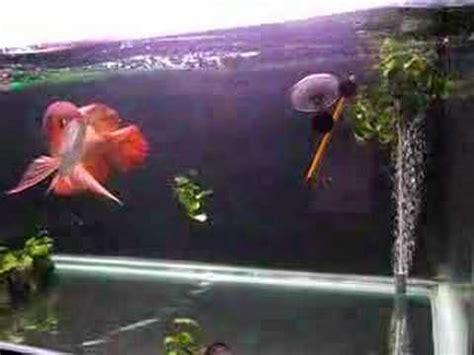 chili red asian arowana feeding in memory of.  youtube