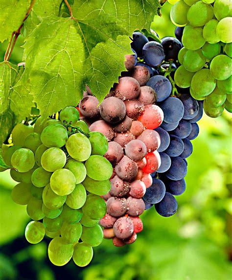Home Aquarium by Kaufen Sie Jetzt Obststrauch Weinreben In 3 Sorten Kaufen
