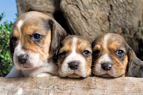 beagle puppy names beagle names unique ideas for your or
