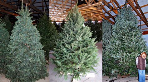 how to care for a fresh cut christmas tree in florida tree care caring for a cut tree kinsey family farm