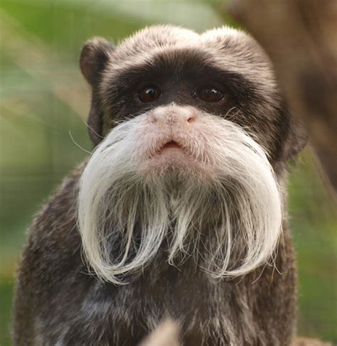 funny animal pictures 8 emperor tamarin 10 funniest animals lifestyle