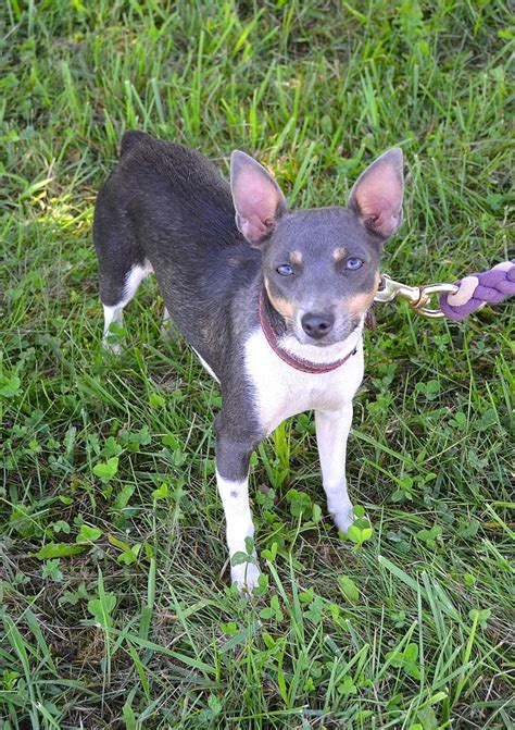 Does A Rat Terrier Shed by 322 Best Images About Animaux Chiens Races On