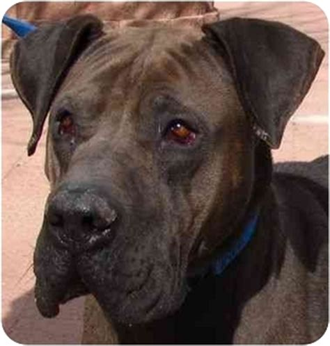shar pei yorkie mix bonnie adopted co great dane shar pei mix