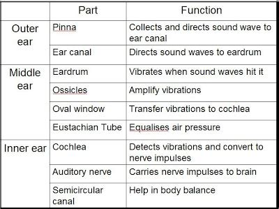 ear diagram and functions diagram of ear and functions gallery how to guide and