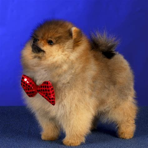 pomeranian bred for pomeranian breed information