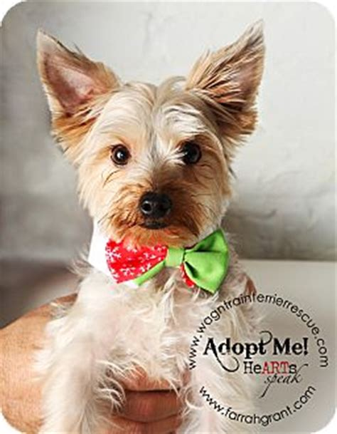 yorkie silky terrier mix for sale silver yorkie cost breeds picture