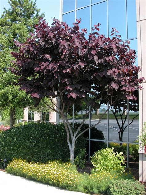 cercis canadensis forest pansy tree blerick trees buy