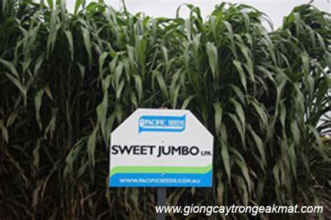 Sweety Jumbo by Kỹ Thuật Trồng Giống Cỏ Lai Sweet Jumbo