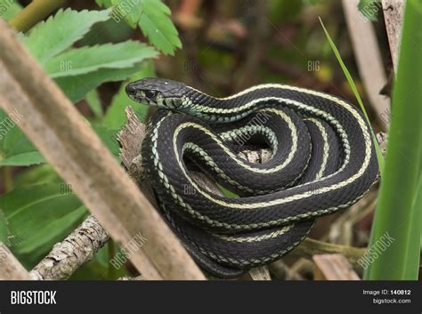 Garden Snake Cost Coiled Garden Snake Stock Photo Stock Images Bigstock