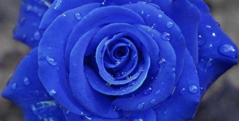 imagenes de rosas azules pin rosas azules on pinterest