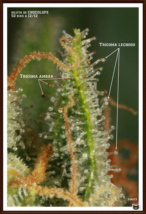 como saber cuando cortar tu planta de marihuana og kush tricoma morfolog 237 a y punto de cosecha cu 225 ndo cosechar