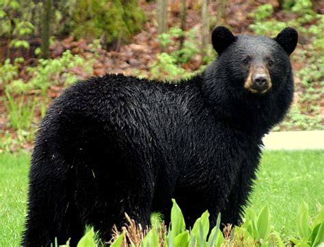 Black Bears animals of the world american black