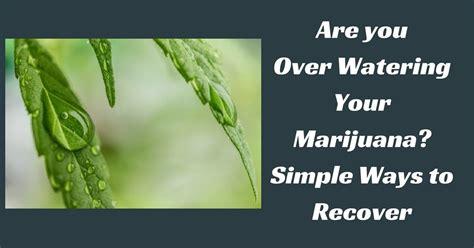 watering  marijuana simple ways  recover