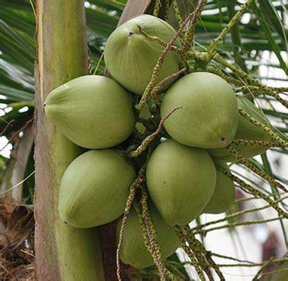 Jual Batok Kelapa Sawit buah kelapa dan manfaat kegunaaannya bibit ikan lele