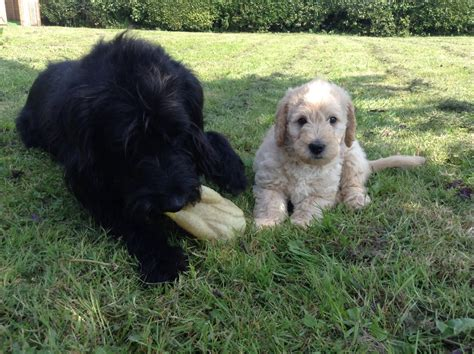 mini doodle colorado large breed labradoodle breeds picture