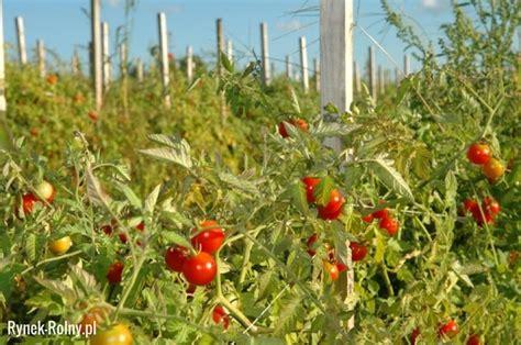 Stanley 14 163 22 Tinsnips W O 8 Blade Scoring uprawa pomidor 243 w zdj苹cie 4 nawo蠑enie pomidor 243 w bez tajemnic rynek rolny