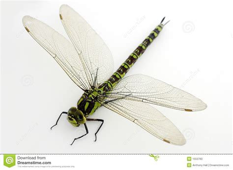 green dragonfly l green dragonfly on white stock photo image of hawker