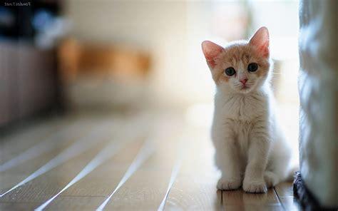 imagenes para fondo de pantalla gatos gatitos para usar como fondo de pantalla