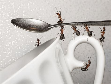 Ants Kitchen by How To Get Rid Of Ants In The Kitchen