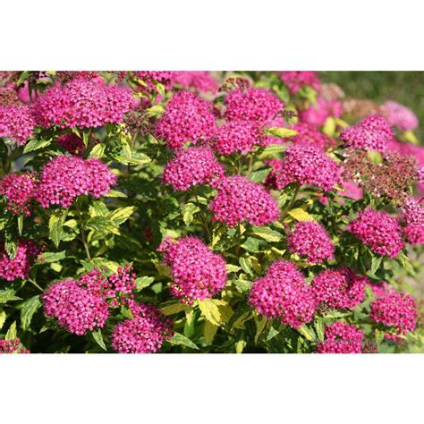 variegated shrub with pink flowers proven winners play painted spirea spiraea