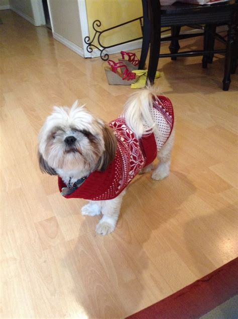 how much does a maltese shih tzu cost 121 best images about shih tzu puppies on