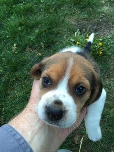 spokane puppies for sale view ad beagle puppy for sale washington spokane