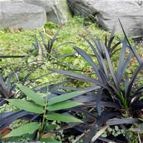 Dwarf Bamboo Groundcover for Gardens