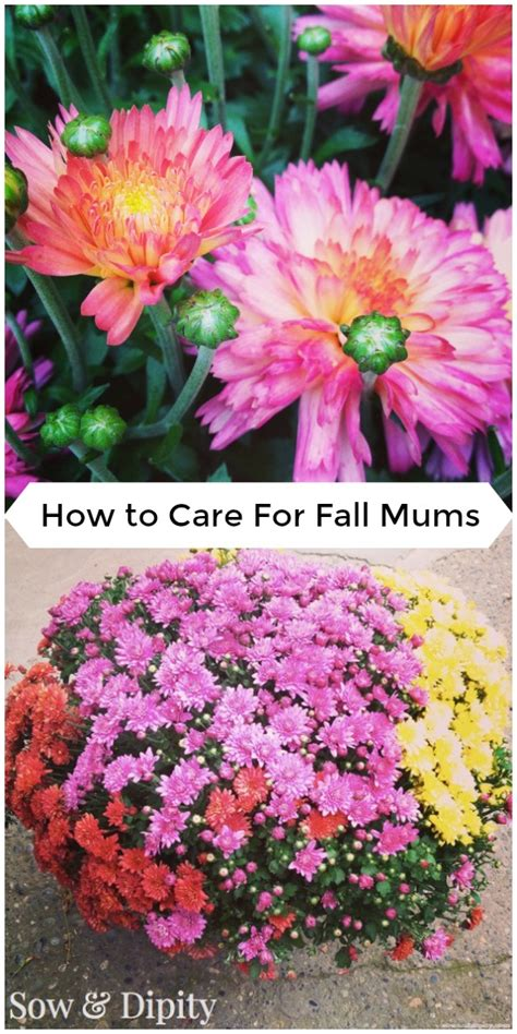 top 28 mums care stunning fall chrysanthemums sunset planting mums archives the monkey