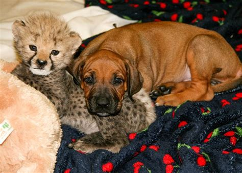 cheetah puppy a cheetah cub and his puppy companion build a lifelong bond zooborns