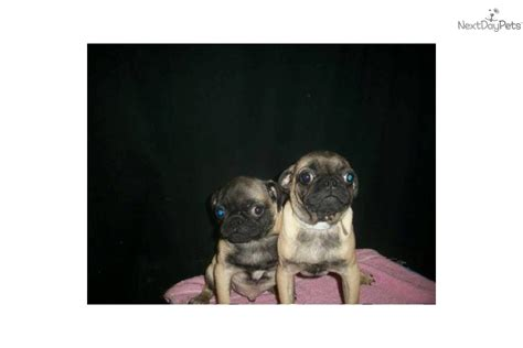pugs for sale in md meet m f available a pug puppy for sale for 550 pug nj ny ct md de ma