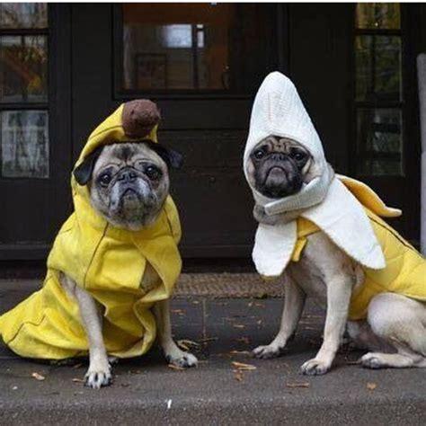 pug suit costume skirt jumpsuit bananas pugs costume