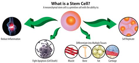 stem cells orthopedic stem cell therapy the san antonio orthopaedic