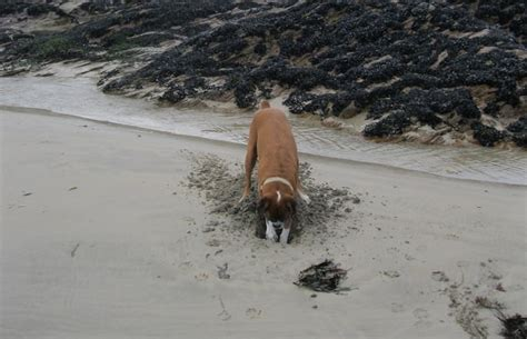 how to get your to stop digging 4 tips to get your boxer to stop digging iheartdogs