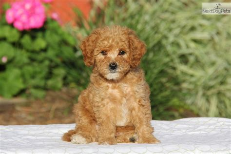 cavapoo puppies near me cavapoo puppy for sale near lancaster pennsylvania 211d4ad4 02f1