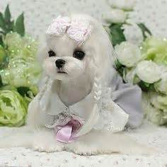 joypia yorkshire haircuts maltese maltese dogs and dog forum on pinterest