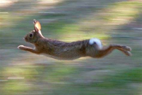 how fast can a run bunny facts how fast can a rabbit run hop to pop