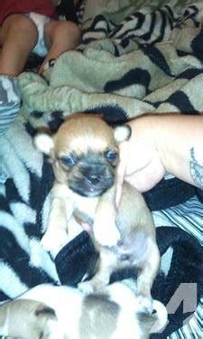 chihuahua puppies for sale in az applehead chihuahua puppies for sale in glendale arizona classified americanlisted