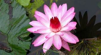 What Is The Significance Of The Lotus Flower Buddhist Lotus Flower Meaning Like Success
