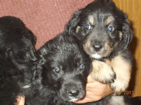 border collie x golden retriever puppies for sale border collie x golden retriever aberystwyth ceredigion pets4homes