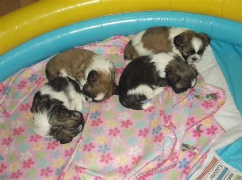 white and brown shih tzu puppies shih tzu puppies 1 brown and white boy left hemel hempstead hertfordshire pets4homes