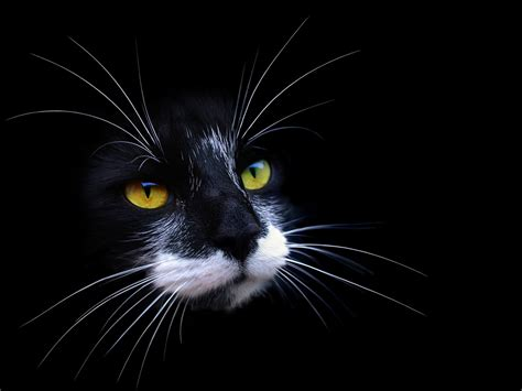 wallpaper cat black and white cute cats image black cat with white beard black