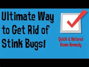 how to get rid of stink bugs in the house getting rid of