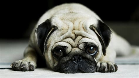 pug personality traits pug puppies rescue pictures information temperament characteristics animals