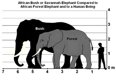 there are actually two species of african elephants and it may mean the difference between life