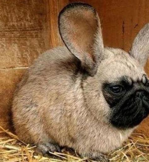 pug hybrids pug rabbit hybrid feel