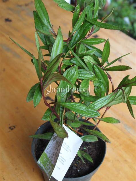Bibit Binahong Hijau bibit herbal bumi herbal dago